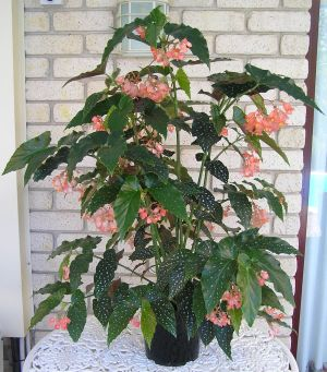 Types Of Begonias The Begonia Society Of W A Inc